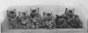 Smoke Persian cats