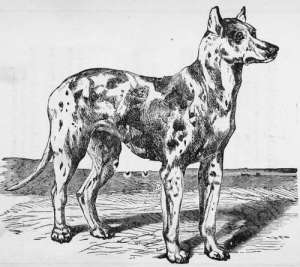 Siberian Bloodhound