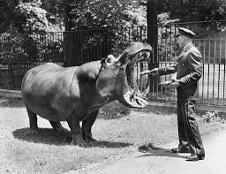 The last of the Murphy hippos to pass on was Peter the Great, who died at the Bronx Zoo on February 1, 1953, at the age of 49.
