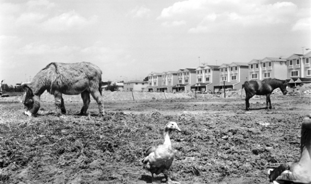 As late as the early 1970s, farm animals still grazed at large in Staten Island. These ducks, goat, and horse are grazing on yet-to-be-developed land near the Staten Island Mall on Richmond Avenue in New Springville.