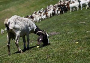 Goats golf